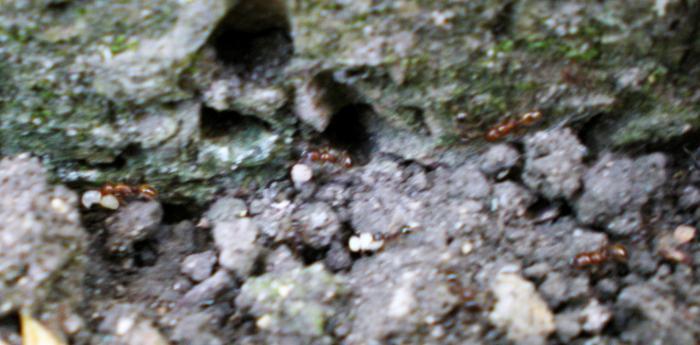 вот такая дорожка рыжеватых муравьев уходила из гнезда черных.