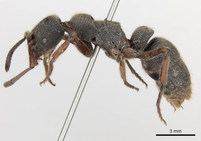 Pachycondyla rufipes