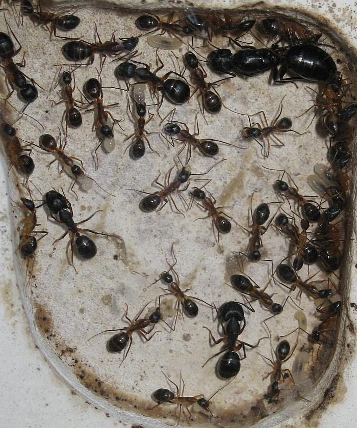 camponotus_superant_colony.JPG
