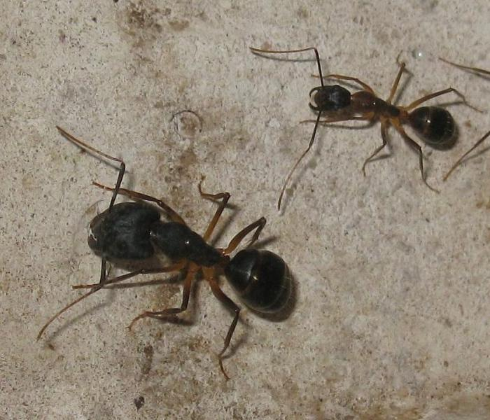 camponotus_superant_major_2630.jpg