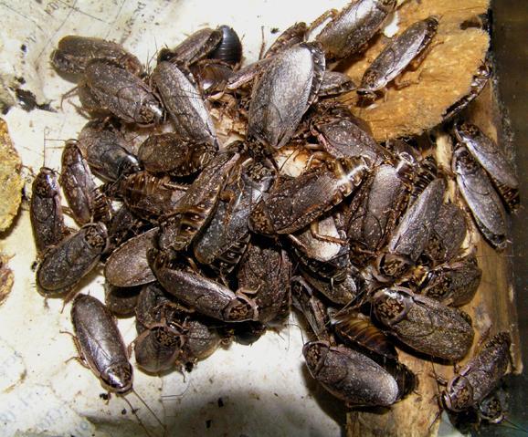 Тараканы - домашние любимцы.