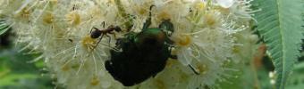 Муравей и жук бронзовка на соцветии рябинника рябинолистного