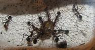 Афеногастеры замочили таракана