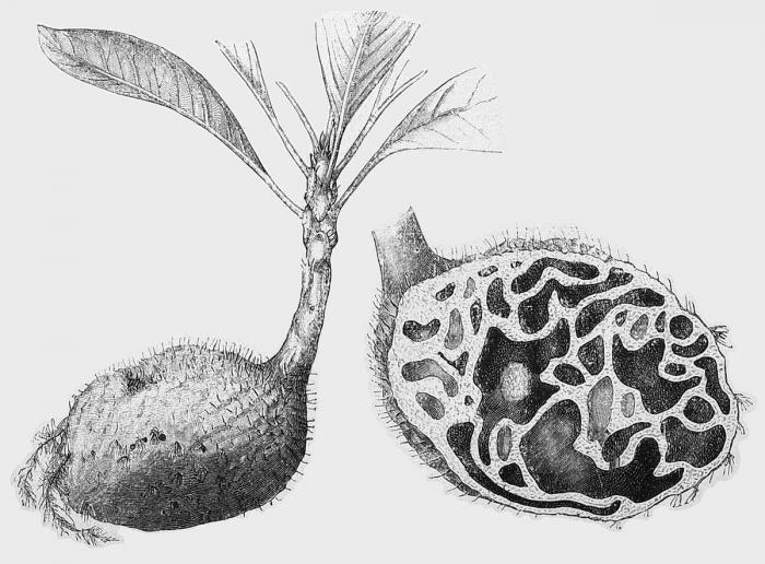 1200px-Hydnophytum_formicarum_001.jpg