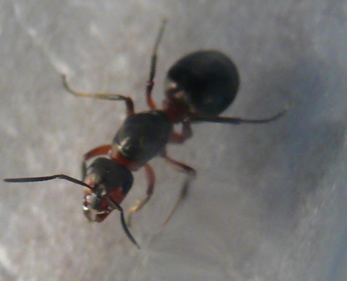 Одна из пойманных сегодня маток Formica rufa - рыжих лесных муравьев.