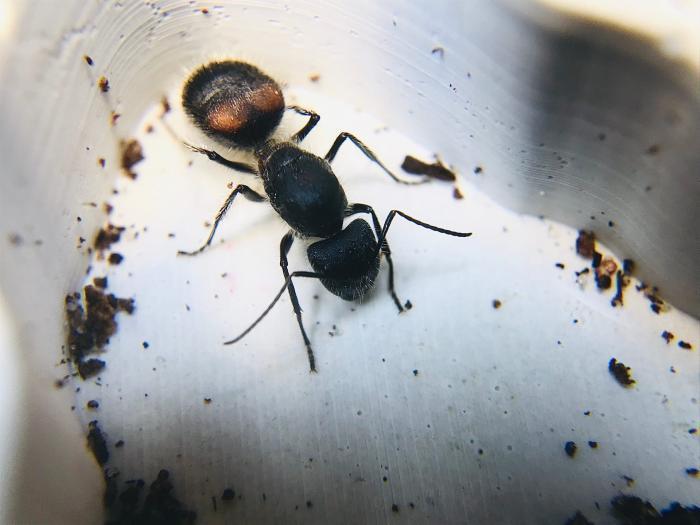 Camponotus mutilarius(xiangban)