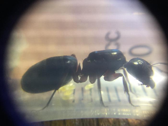 Camponotus Herculianus