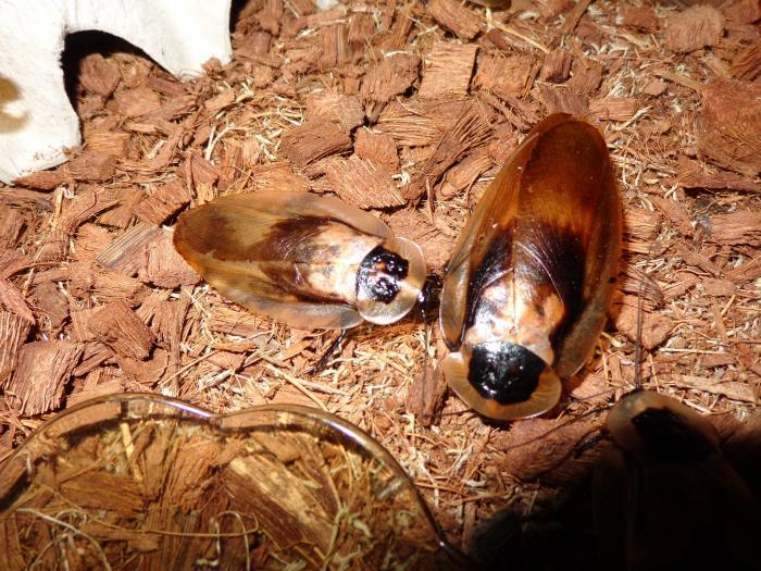 Blaberus craniifer - Мертвая голова