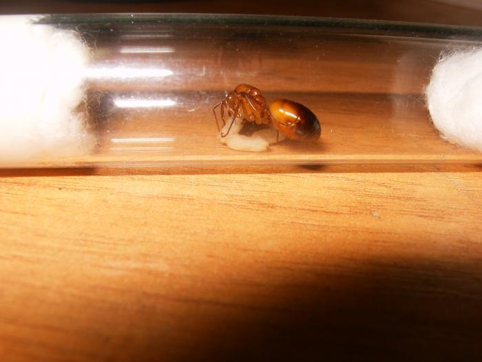 Camponotus pilicornis, матка с коконами.