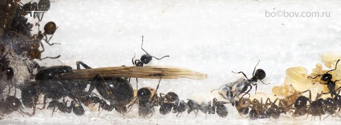 Уникальный феномен, семья Messor denticulatus с  крылатой маткой.