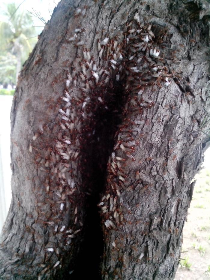 Лёт Solenopsis geminata