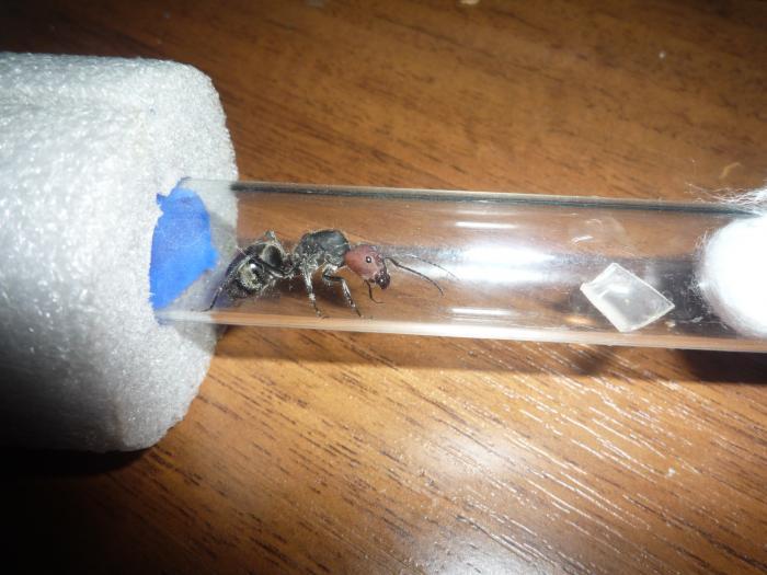 Матка Camponotus singularis после кормёжки.