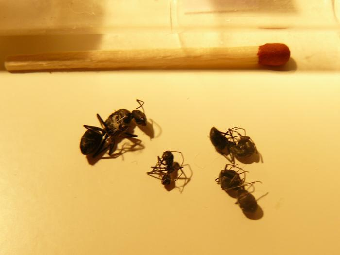 Camponotus albivillosus rip :(