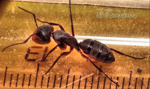 Camponotus   vagus -  размерчик