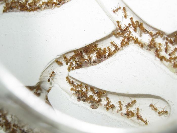 афеногастеры кормят личинок