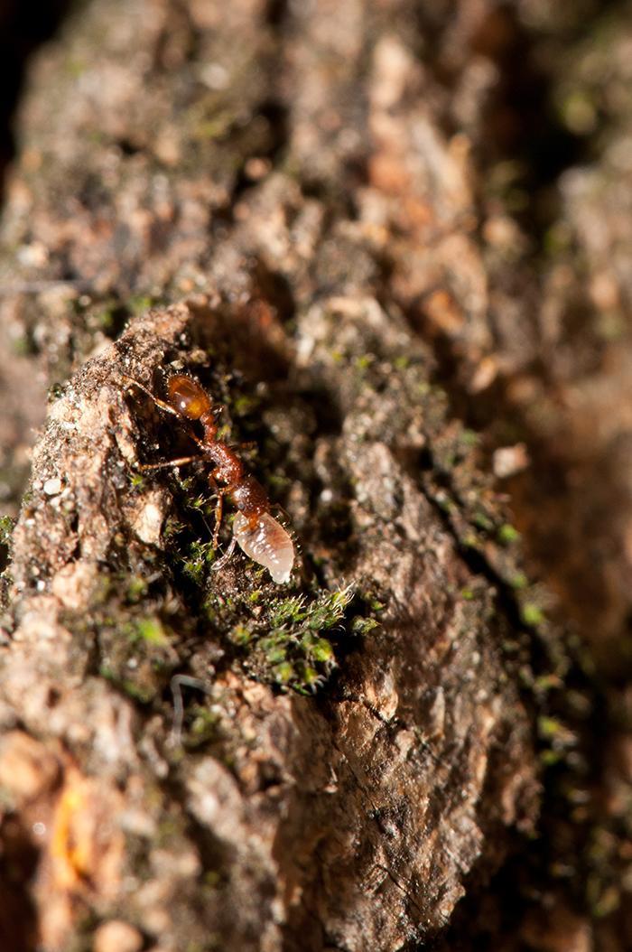 Рабочий Temnothorax affinis переносит личинку