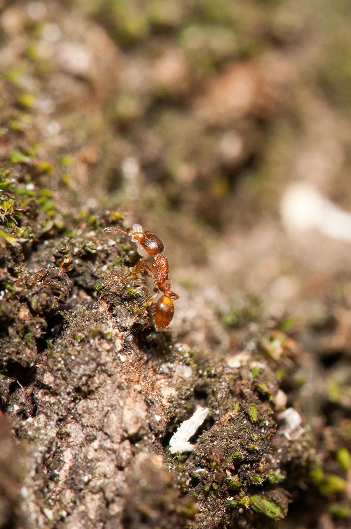 Рабочий Temnothorax affinis переносит яйца и личинку