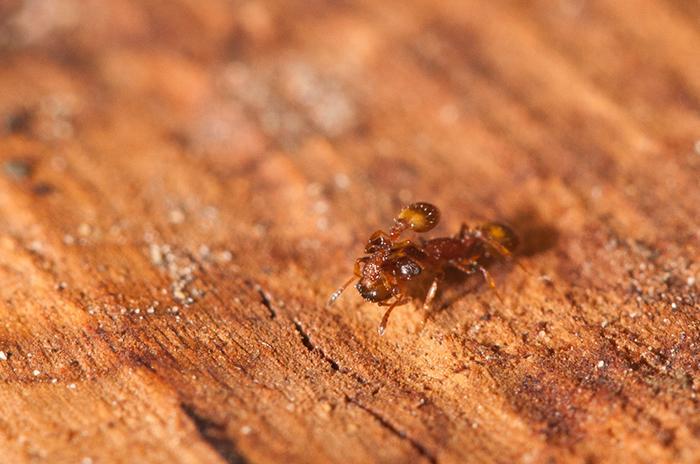 Рабочий Temnothorax affinis переносит внутригнездового рабочего
