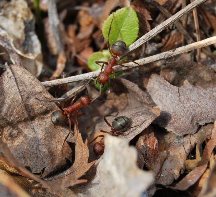 Приграничный конфликт чёрный здоровяк под листвой