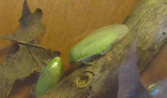 таракан Panchlora nivea