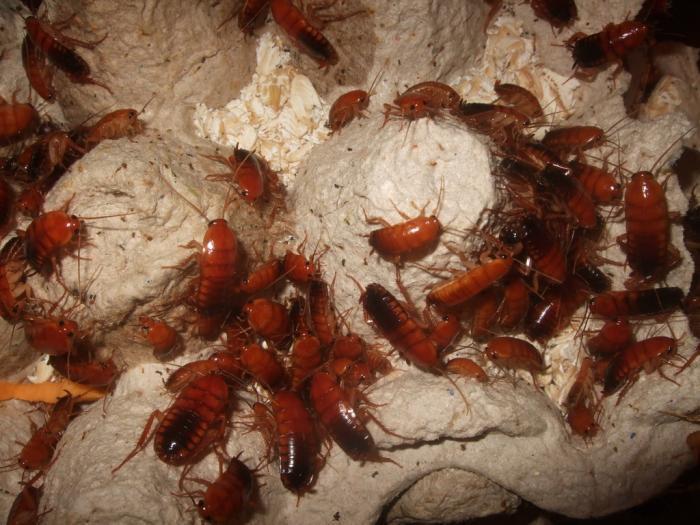 туркменистанский таракан