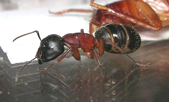 Camponotus herculeanus - солдат