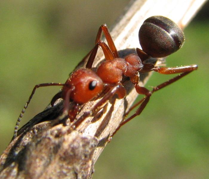 Formica truncorum (красноголовый муравей)
