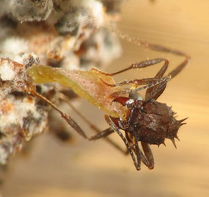 Acromyrmex sp.