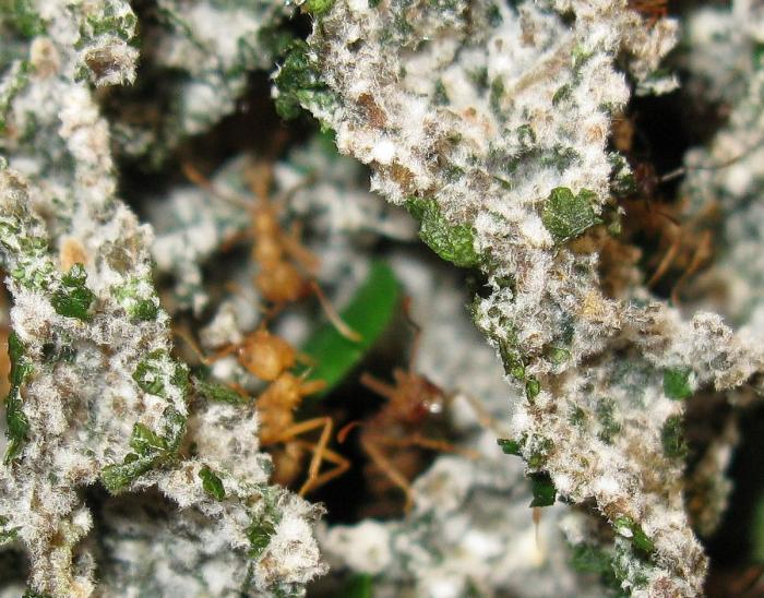 Acromyrmex sp. грибница