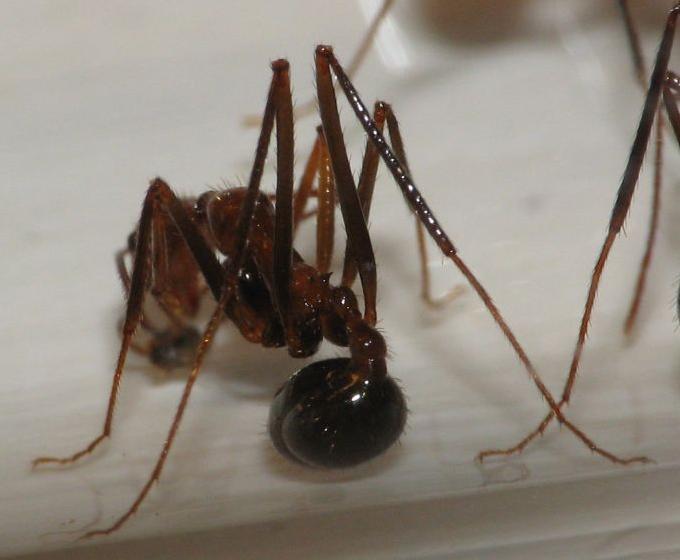 Aphaenogaster swammerdami
