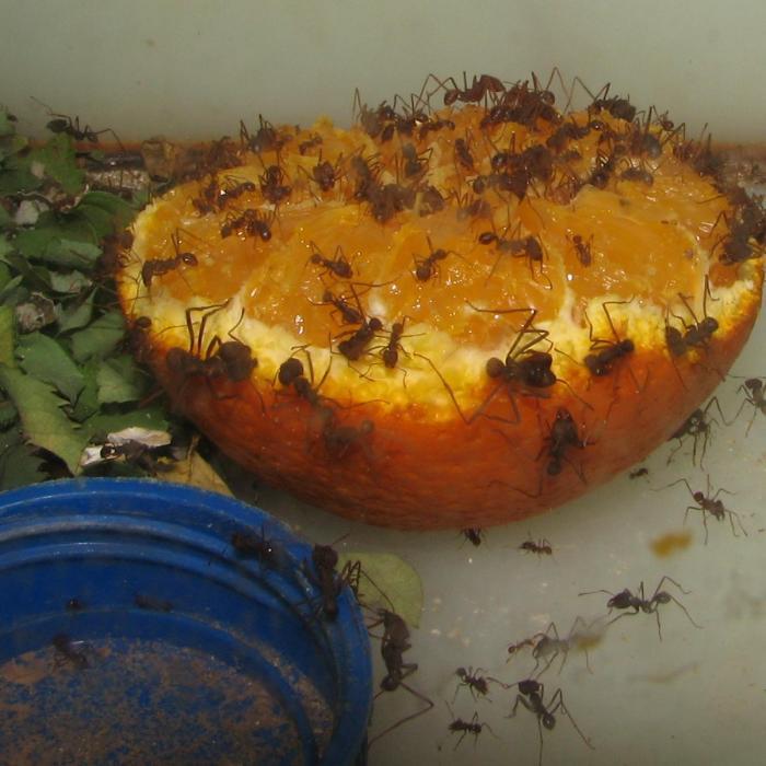 Atta laevigata поедание апельсина