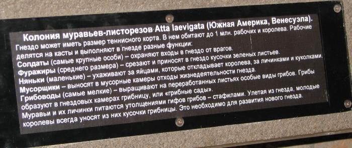 Atta laevigata - описание вида