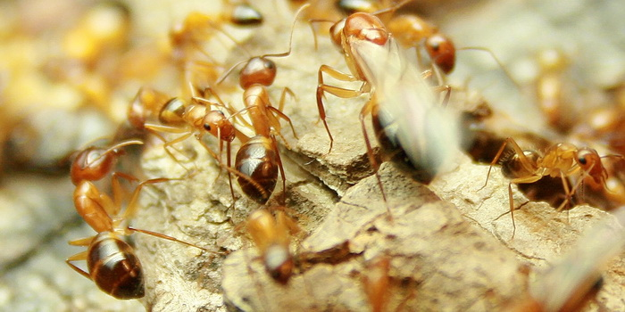 Wood Camponotus Soldier vs Worker 2.JPG