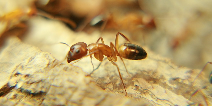 Wood Camponotus Soldier vs Worker 3.JPG
