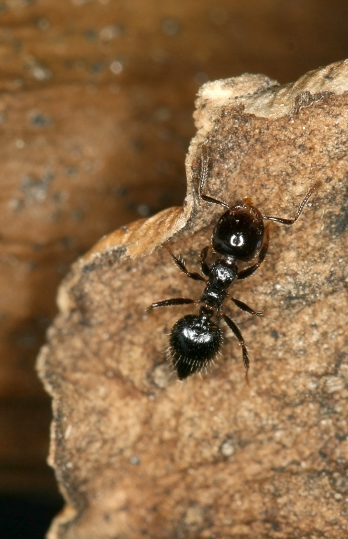 Crematogaster sp black