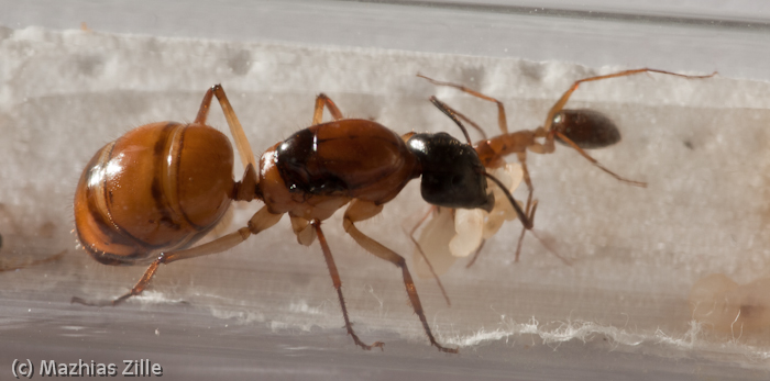 how to move queen ant from tube to formicarium