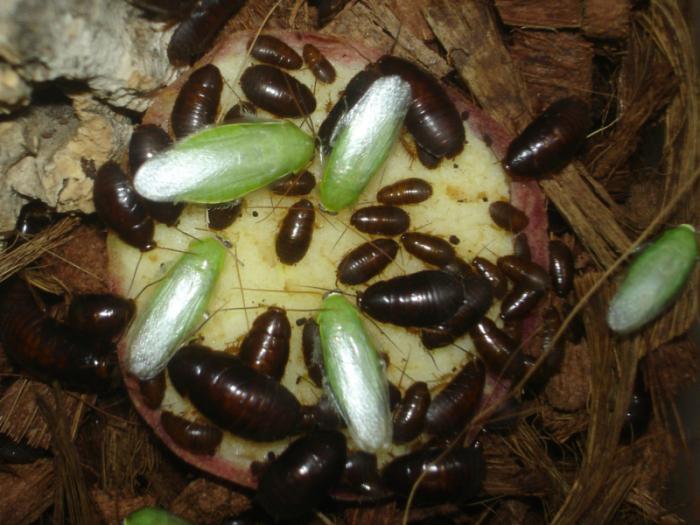 Банановый таракан (Panchlora nivea)