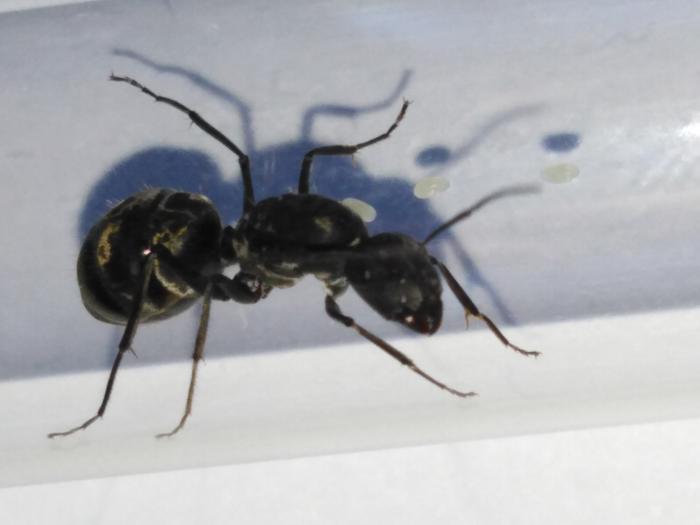 Camponotus cf. auriventris