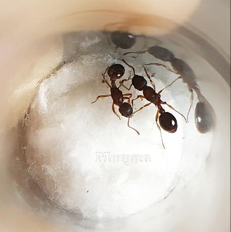 2 матки Myrmica sp. в пробирке