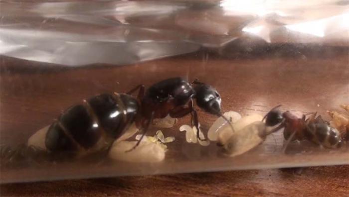Camponotus ligniperda